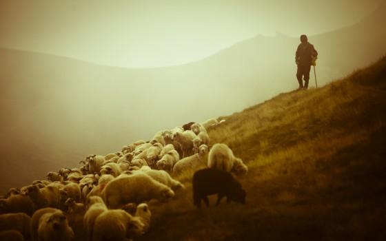 shepherd-sheep-12-1